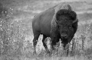 american_bison_k5680-1-version-2